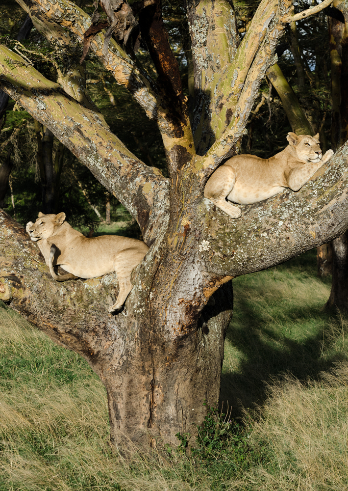 Lionesses relaxing away in the tree