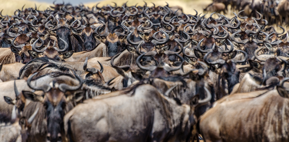 Thousands of Wildebeest: this is the Great Migration