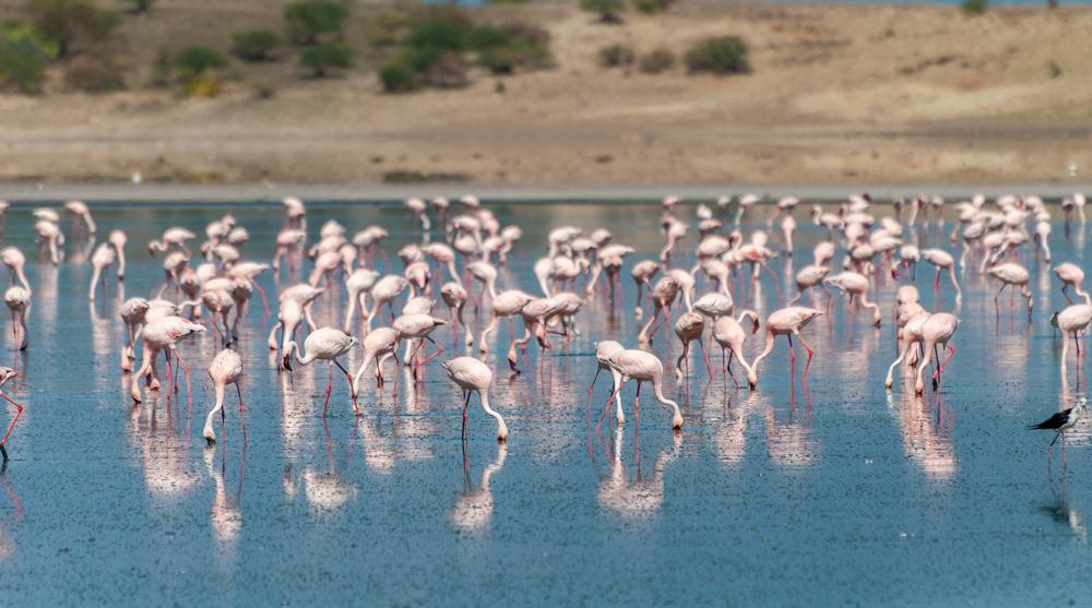 Flamingos on Lake Magadi