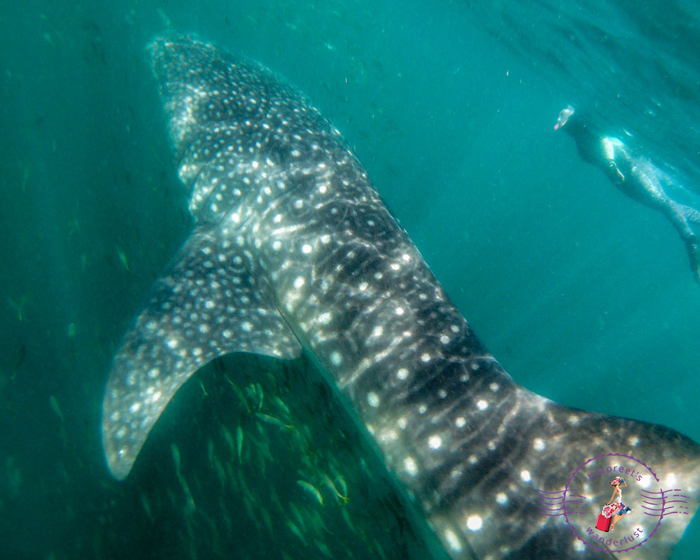Swimming with Whale Sharks in Djibouti