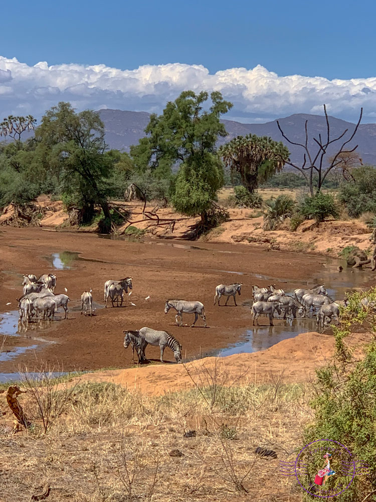A handful of Grevy's Zebra drinking from puddles in what was the Ewaso Nyiro River