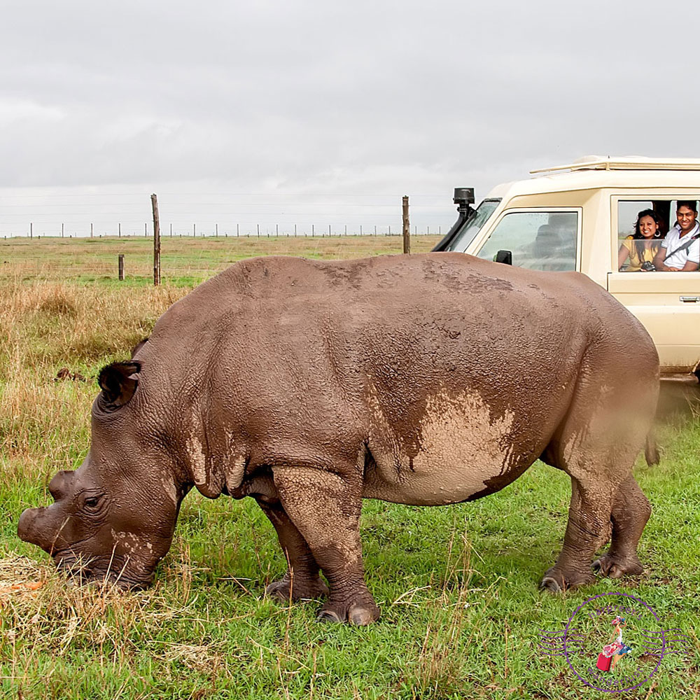 One of the last Northern White Rhino's in the world