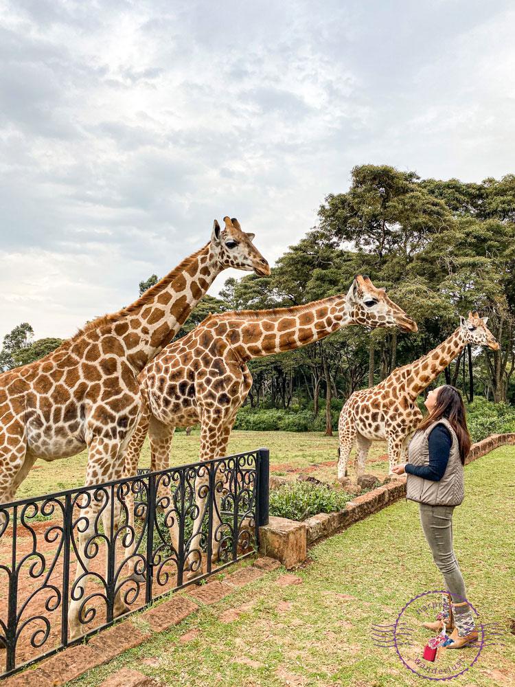 Harpreet looking up at 3 giraffes