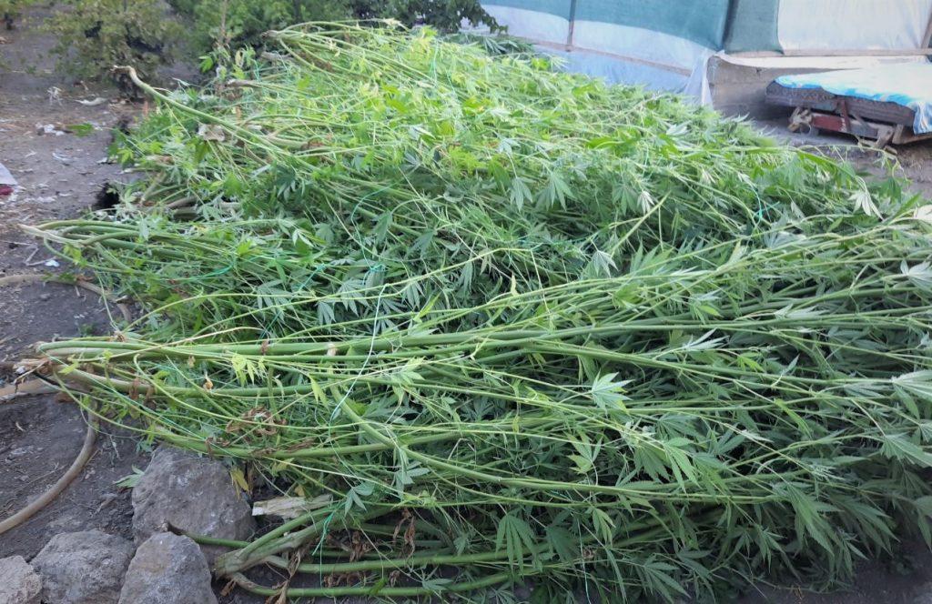 Creștea cânepă în grădină. Un bărbat din Cantemir, reținut de poliție