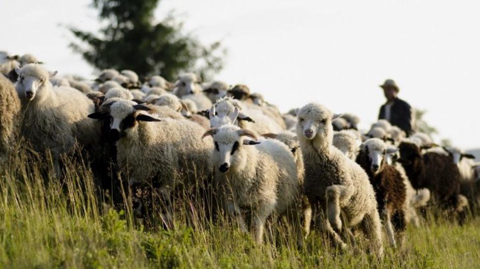 Târgul ovinelor și caprinelor se va desfășura la Cimișlia
