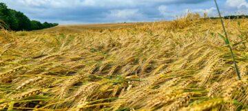 """""""Vor incolți boabele în spic"""". Dacă ploile nu contenesc, agricultura va avea de suferit"""