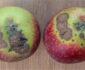 Čađava pegavost lista i krastavost ploda jabuke