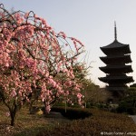 Plum blossom by the Toji Temple in Kyoto, Japan. Photo by Stuart Forster.