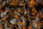 Butterflies in Mexico by Tim Bird.