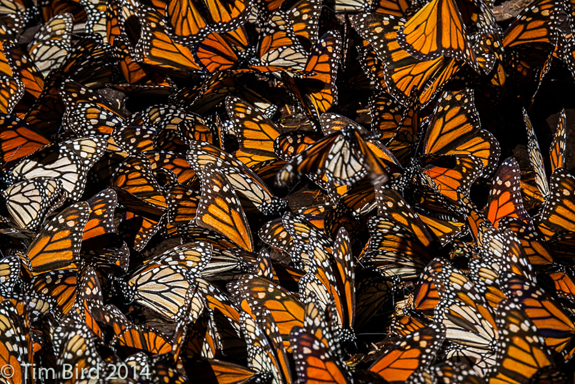 Butterflies in Mexico by Tim Bird.