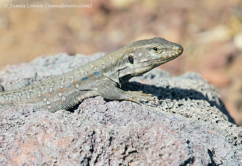 Tenerife Lizard_CAdeje_21-01-16__LO_2433 copy