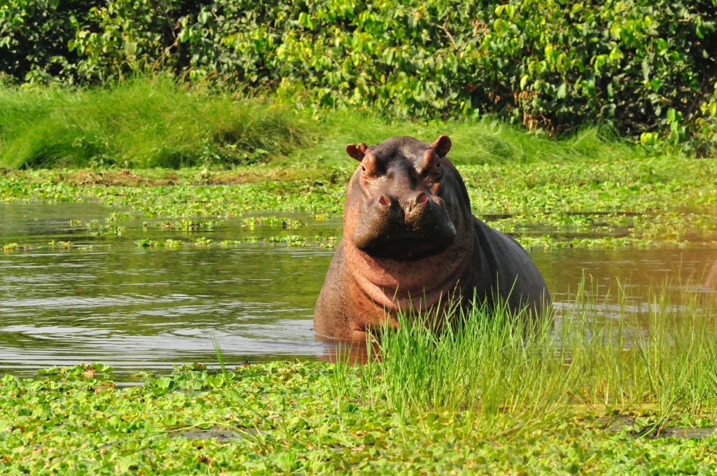 Hippo 3 copy