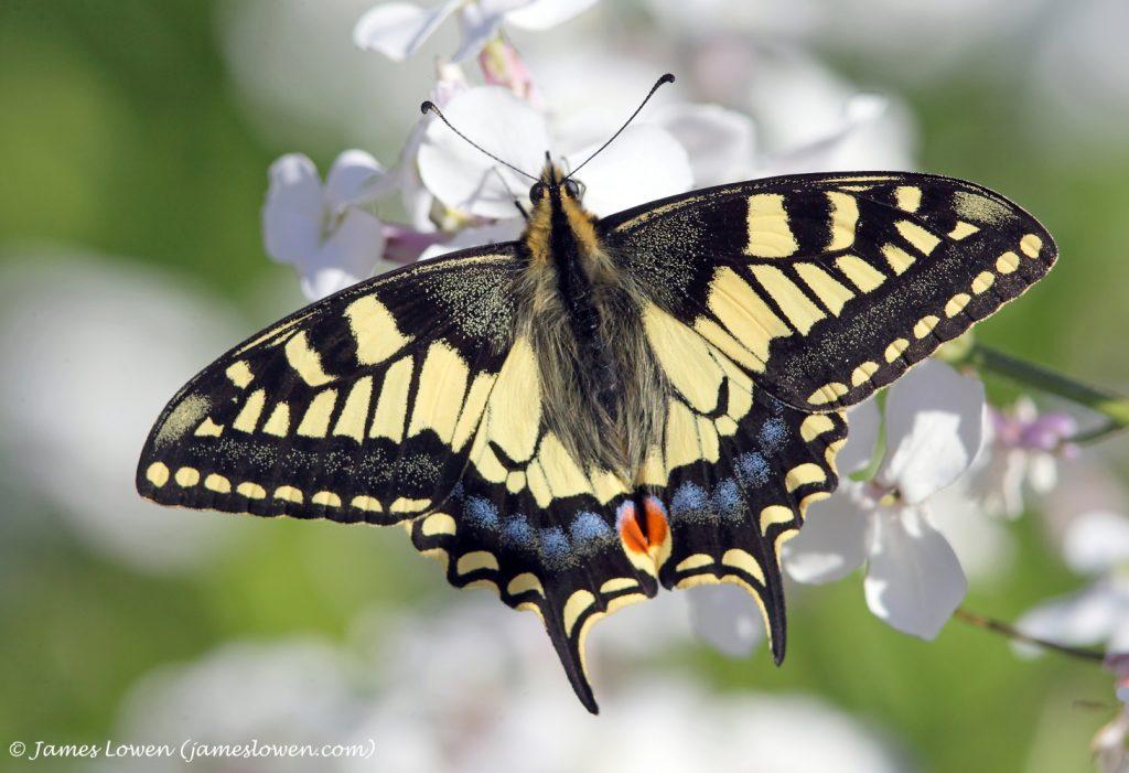 5_Swallowtail_James Lowen_7867 copy
