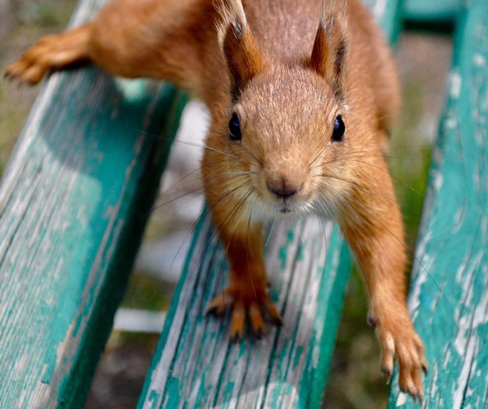 Red squirrel by Julia Hammond.