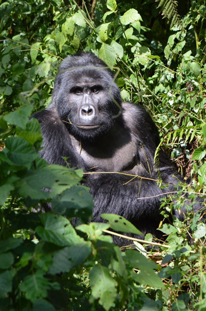 Silverback gorilla by Petra Shepherd.