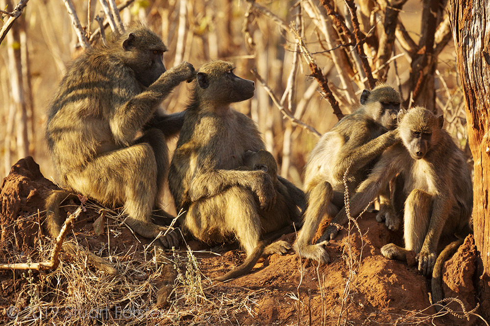 Baboons by Stuart Forster.