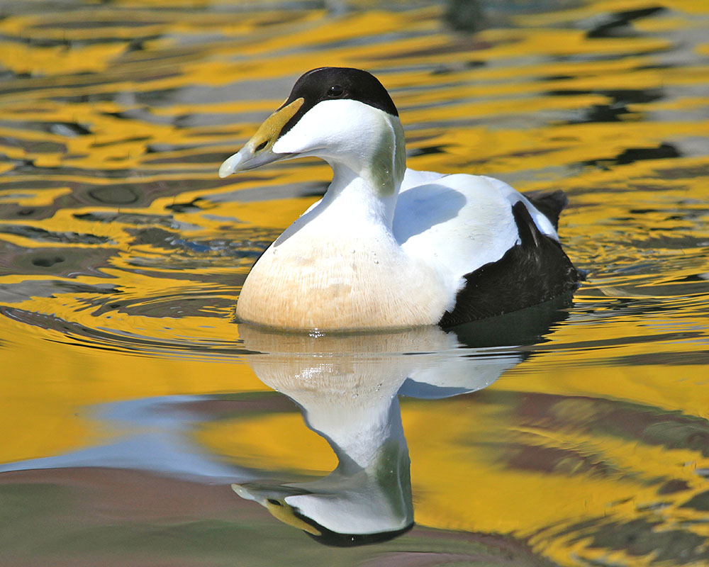Mike Unwin photographed a drake eider duck swims through the reflections of fishing boats in Stykkishélmur harbour, western Iceland
