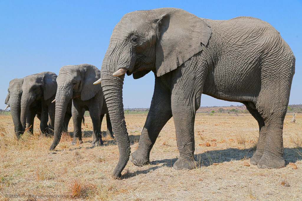 African elephants in Zimbabwe illustrating a post about Guild member portfolios