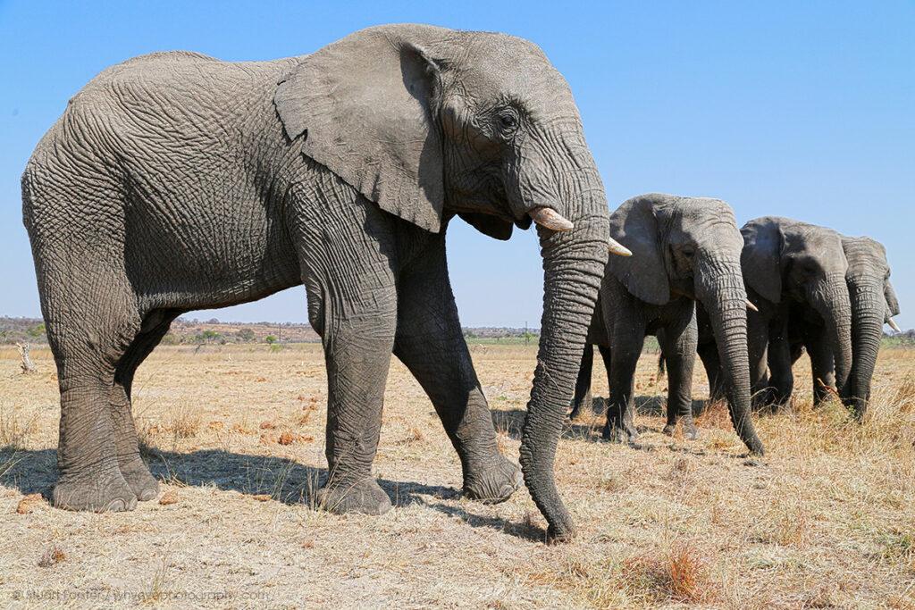Elephants in Zimbabwe.
