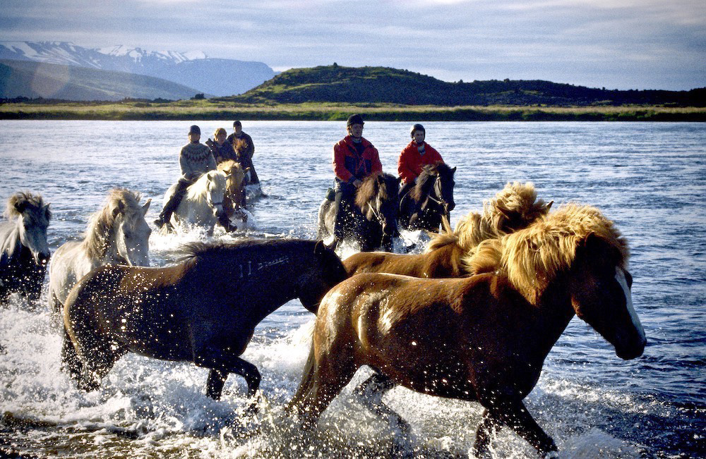 Icelandic horses lead riders, both walking and at times swimming, across the fast flowing Laxa River in Iceland