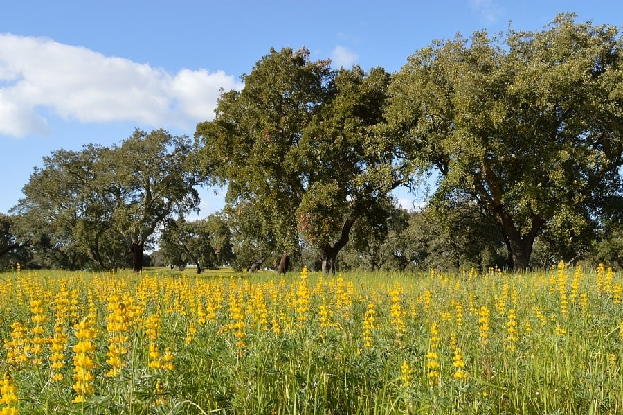 Cork oak trees and a field of yellow flowers