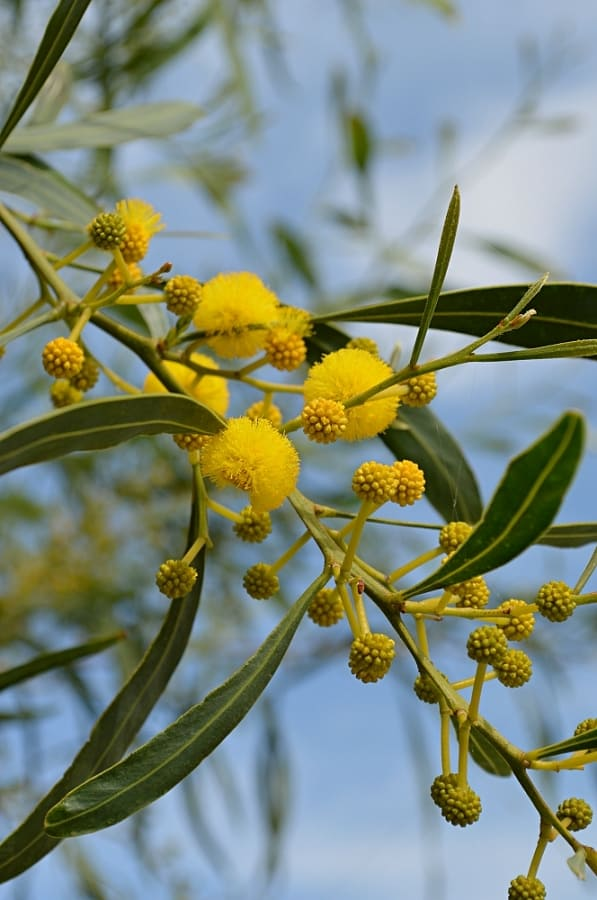 Mimosa tree in bud and bloom