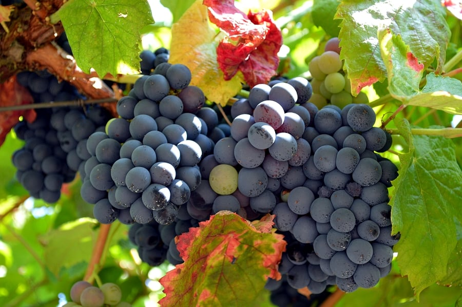 Bunches of plump, ripe grapes ready to harvest