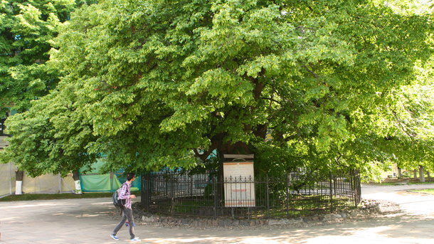 Ancient 400-year-old linden