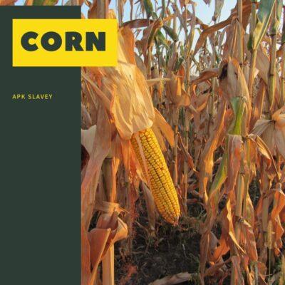 Corn bulgaria