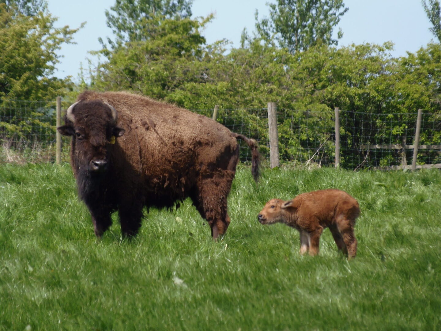 mature bison with young bison