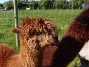 red alpacas