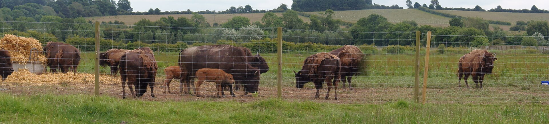 group of bisons after a fence