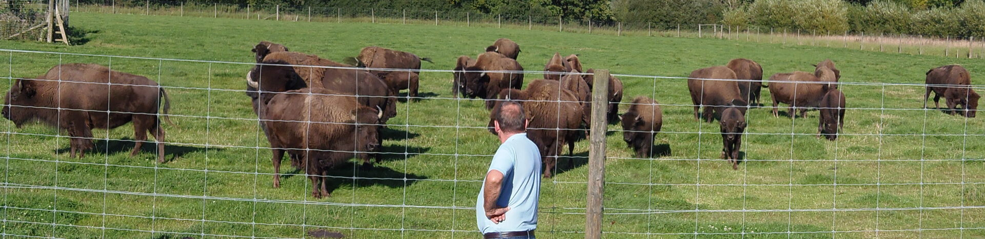 group of bisons near fence