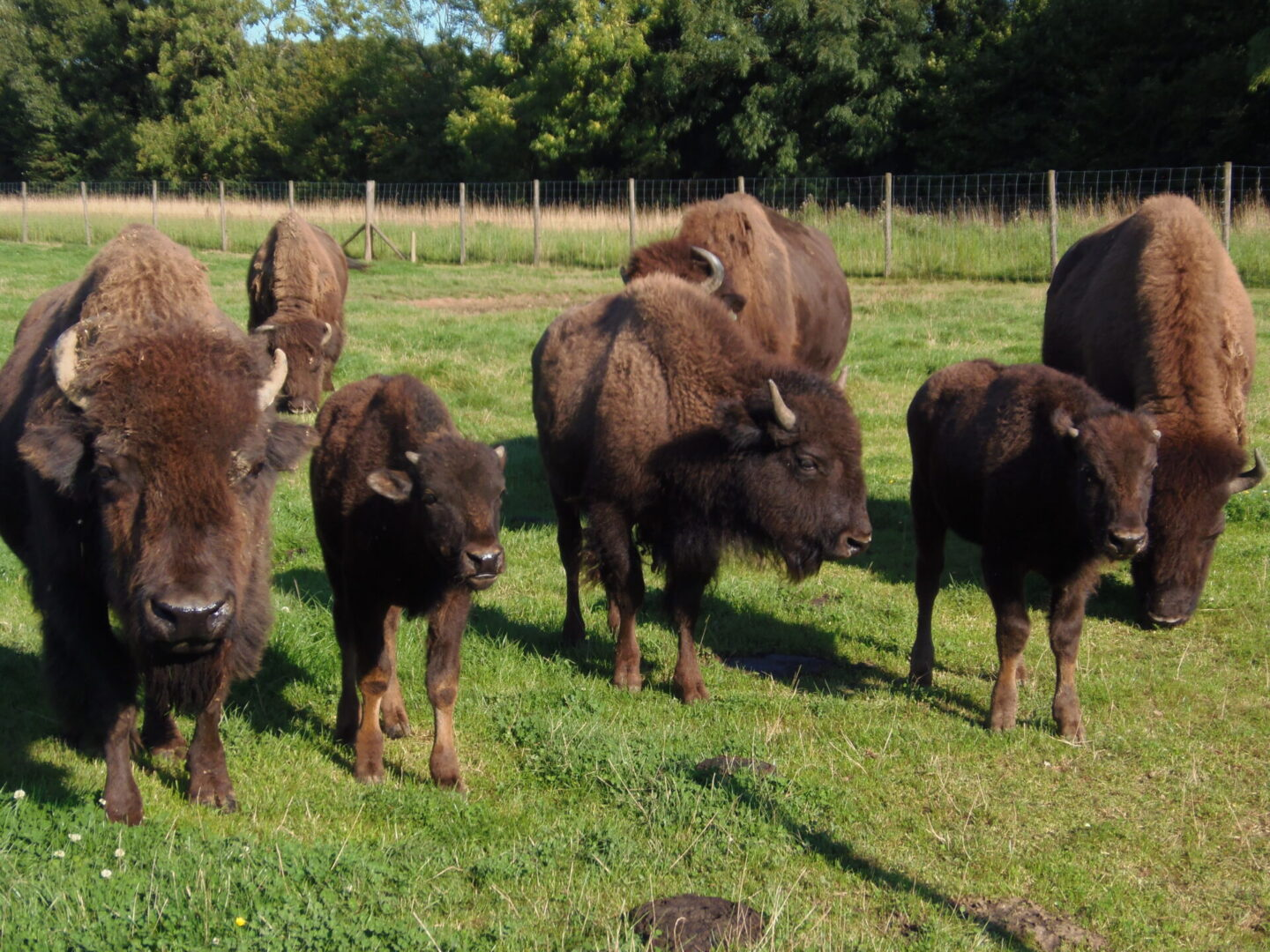 group of bisons
