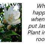 Jasmine plants are one of the best plants to have in your house, especially the bedroom. So, What happens when you put Jasmine Plant in your room