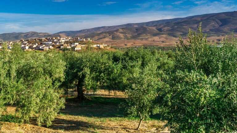 olive trees Andalucia