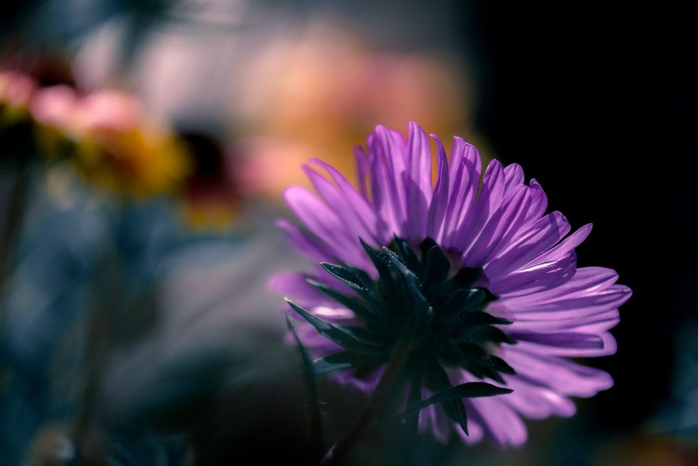 violet-flower-macro