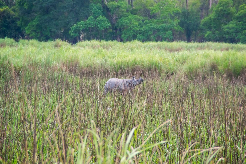 Rhino in the fields