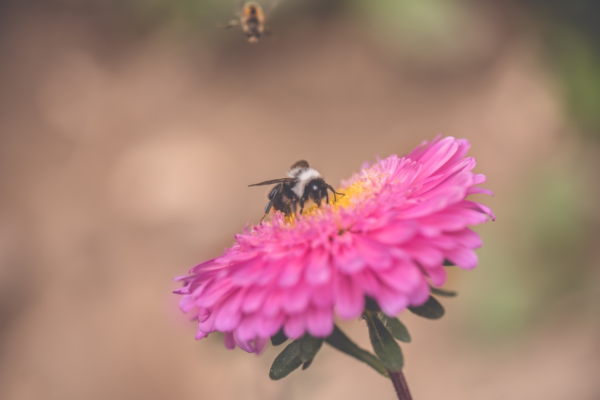 Buzzing Agent Of Pollination