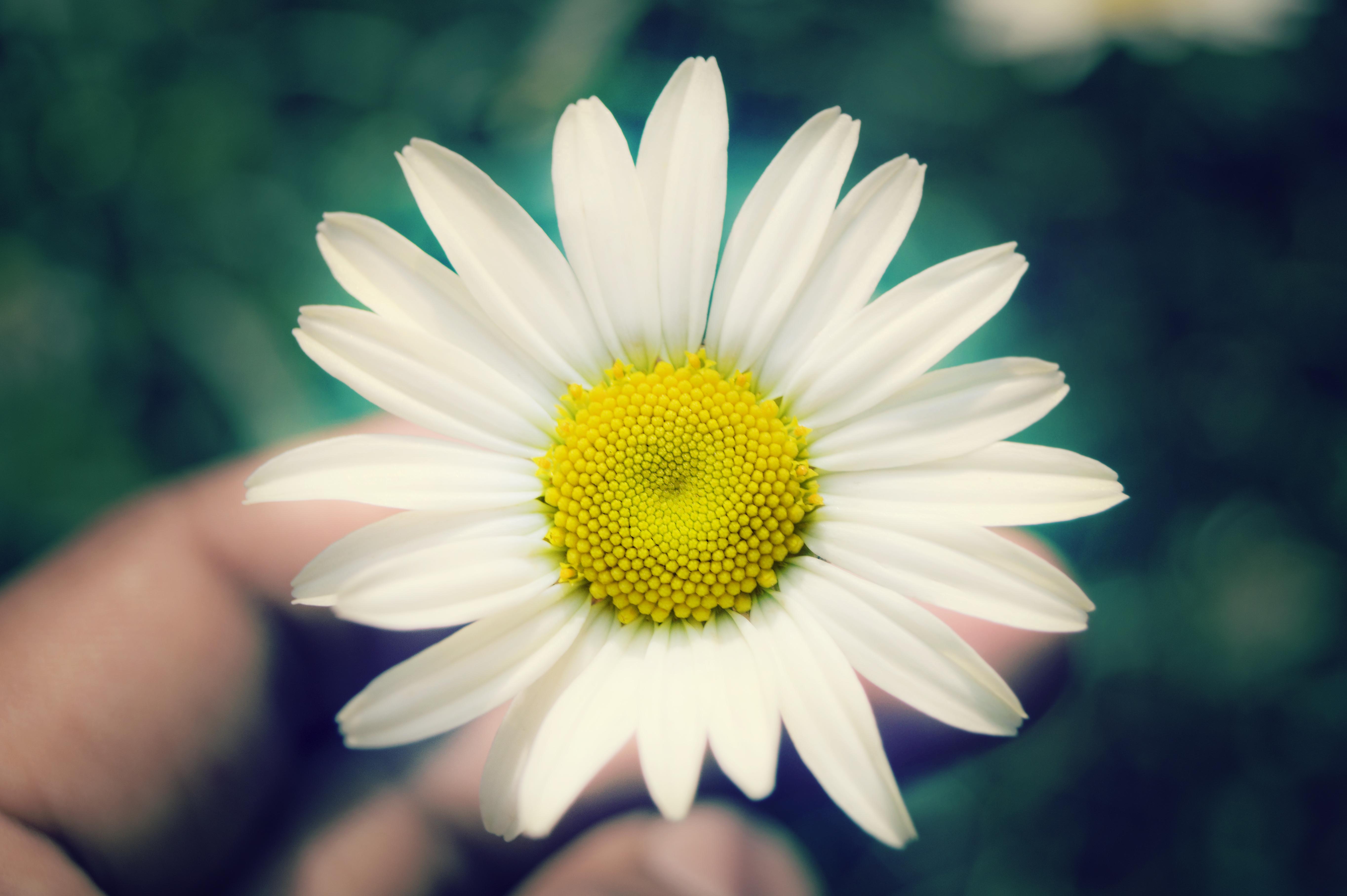 Macro Shot Of Man Plucking White Sunflower