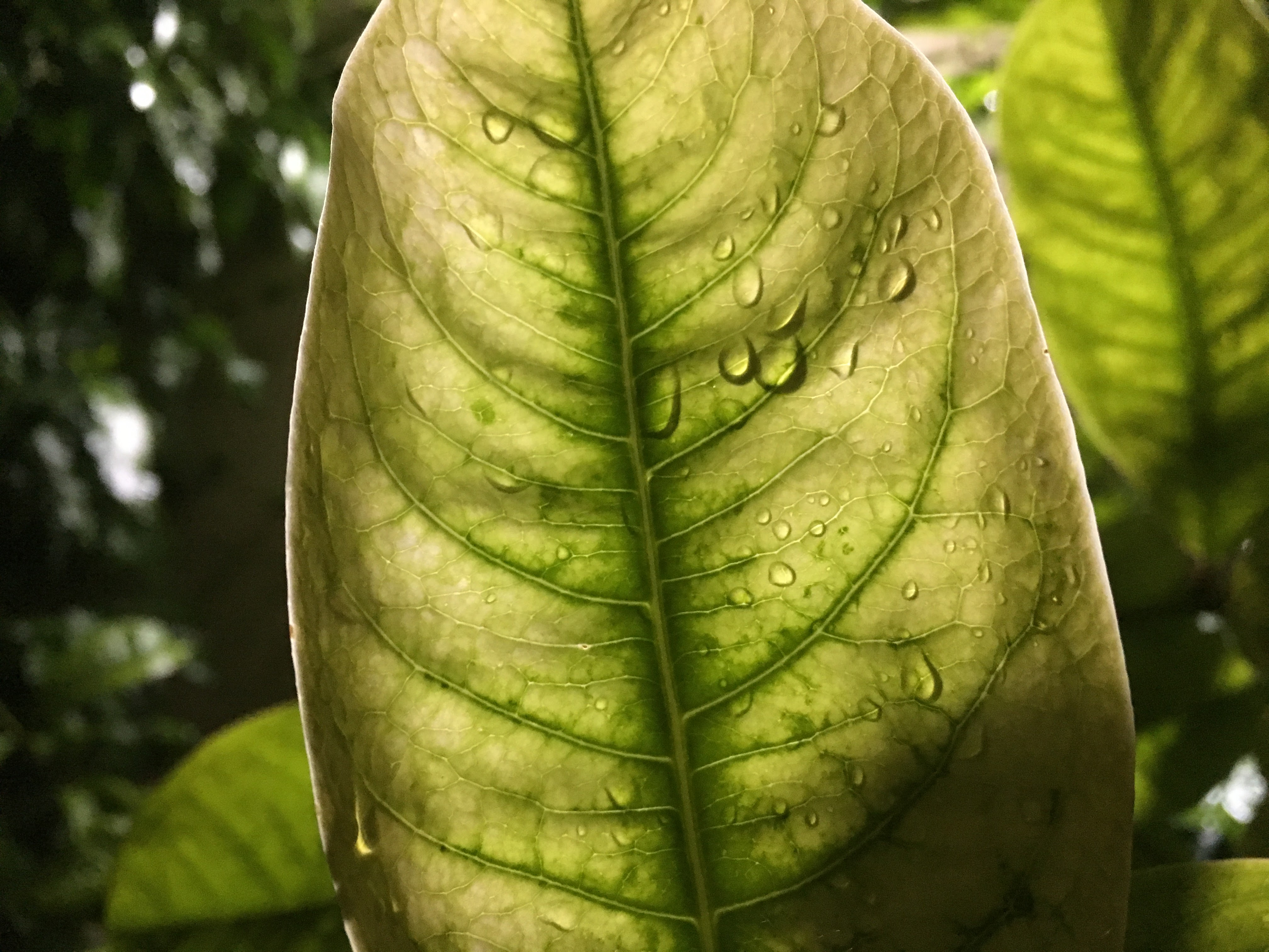 See Through Veins Of A Leaf With Water Droplets