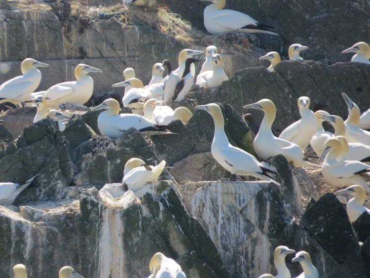 Gannets, Luce Bay, Mull of Galloway. Onyermarks Evening wildlife and fishing trips