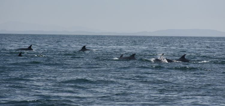 Dolphins, Luce Bay, Mull of Galloway. Onyermarks Evening wildlife and fishing trips.