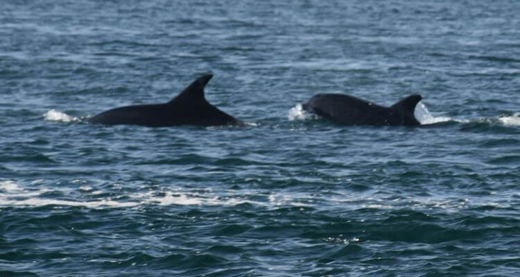 dolphins, luce bay, Onyermarks Evening wildlife and fishing trips