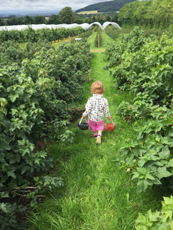 Willow running amongst the strawberries at Tillington Court Farm
