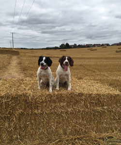 Our lovable spaniels Mae and Drake