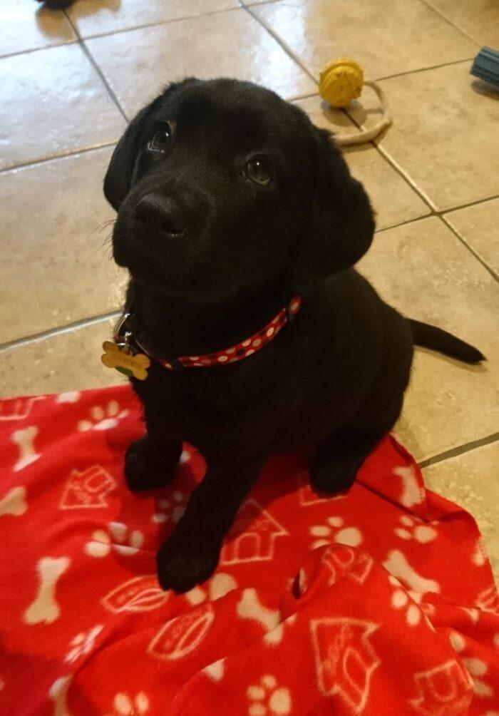 Hesta, a puppy in training