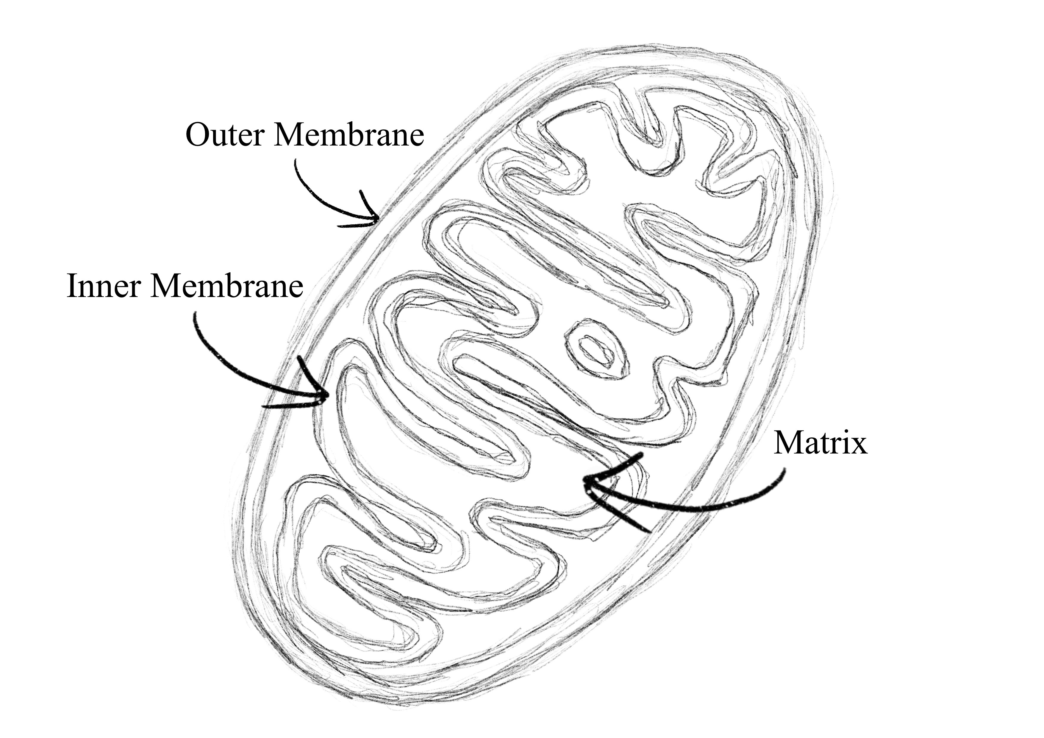 Sketch of Mitochondrion