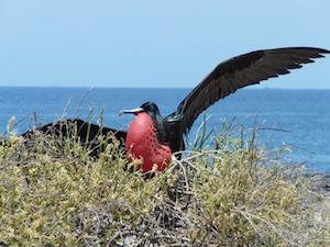 Ecuador Galapagos Islands FRAGATA