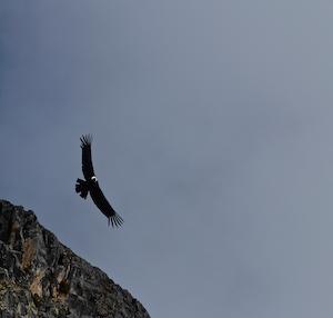 Peru AREQUIPA_Can aon del Colca Condor
